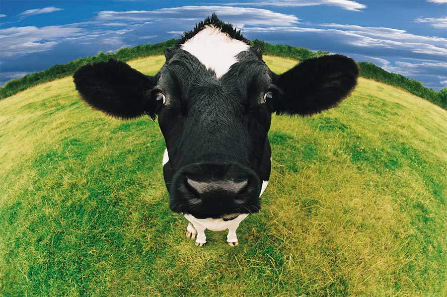 New Breed Uk Cow Image