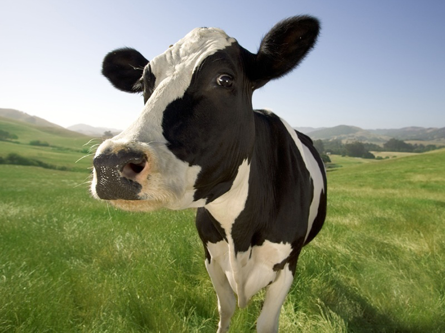 New Breed UK Cow Image 2